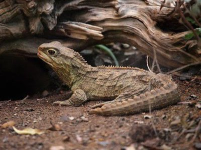 The Tuatara, Sphenodon punctatus, is a unique reptile found in New Zealand. New research suggests the species has two mitochondrial genomes.