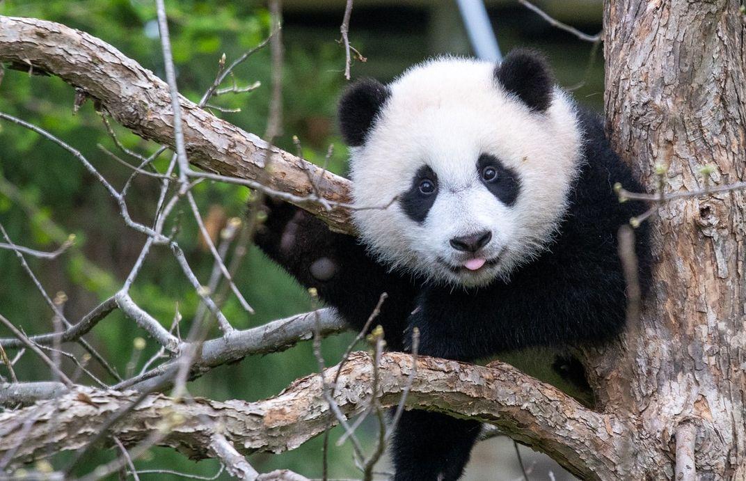 Giant panda cub Xiao Qi Ji in a tree with his tongue sticking out