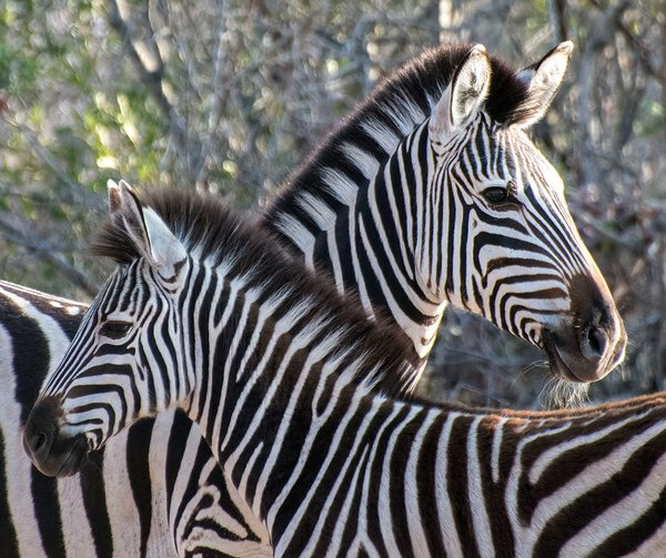 Zebra mother and foal thumbnail