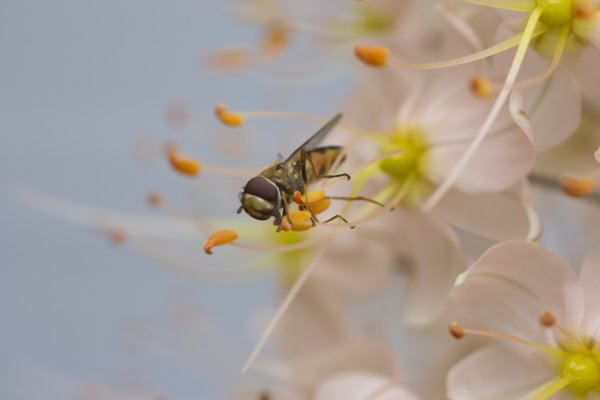 A Hoverfly enjoying the pollen thumbnail