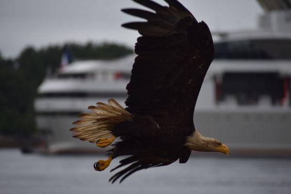 Gliding Bald Eagle thumbnail
