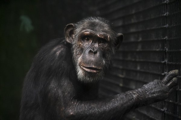 This portrait shot of Louie (one of the larger chimpanzees at the Maryland Zoo in Baltimore) turned out amazing. The look in his eyes is just mesmerizing.