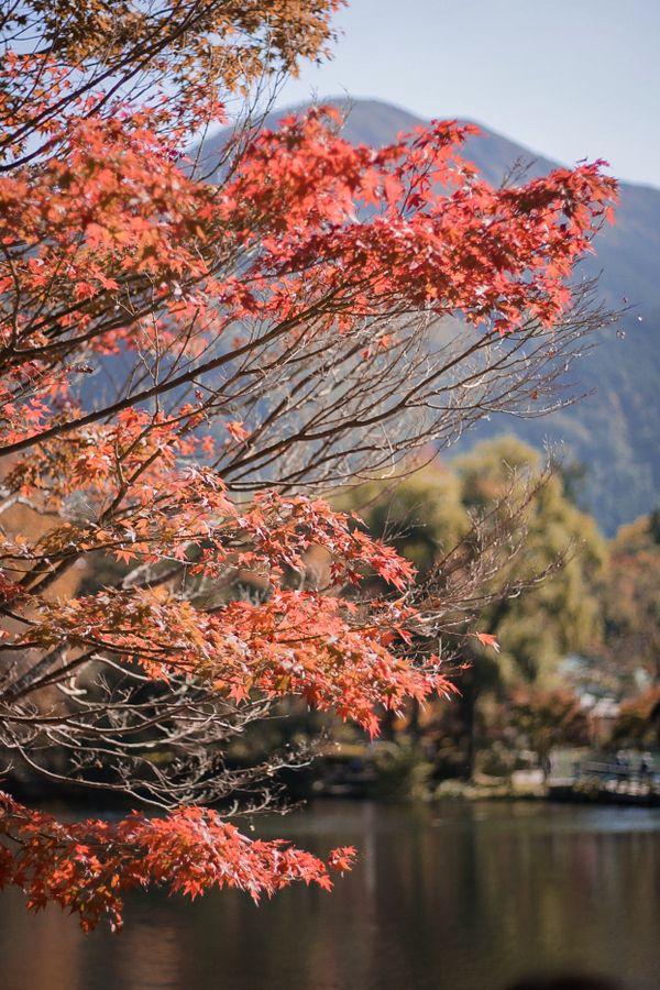 Maple leaf in Autumn thumbnail