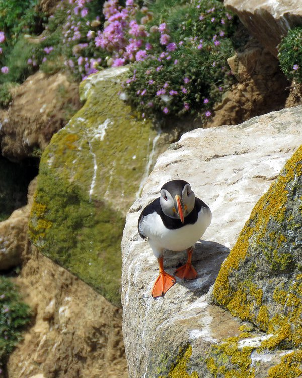 Puffin on the Great Saltee Islands thumbnail