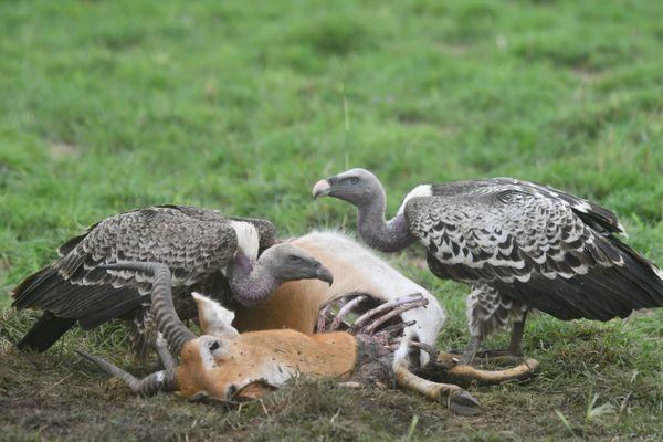 Two vultures feed on the (Uganda) Kob thumbnail