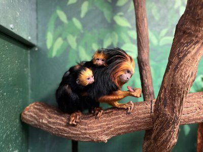 For the first time in 16 years, a pair of golden-headed lion tamarins were born on the morning of October 7, 2021. New mom Lola carries the new infants on her back and cradles them close to her body.
