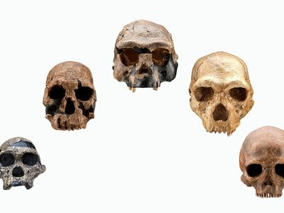 These five skulls, which range from an approximately 2.5-million-year-old Australopithecus africanus on the left to an approximately 4,800-year-old Homo sapiens on the right, show changes in the size of the braincase, slope of the face and shape of the brow ridges over just less than half of human evolutionary history.