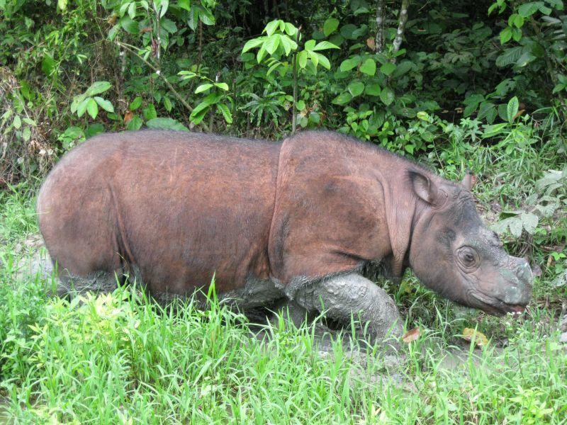 Plight_Borneo_Sumatran_Rhino_2005_9.jpg