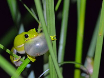A male green tree frog calls out to females.