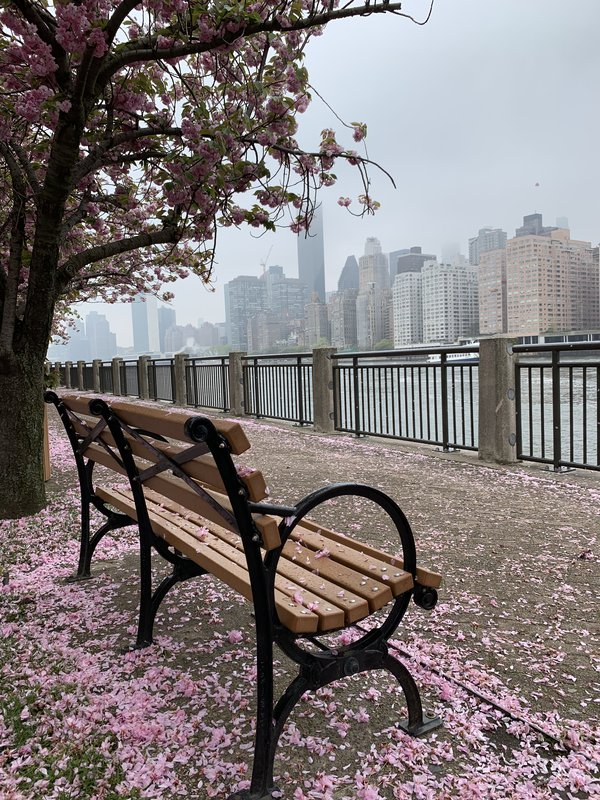 Cherry blossoms at Roosevelt  Island  thumbnail