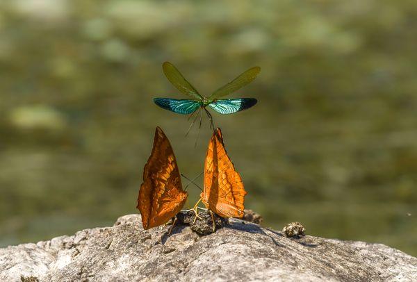Yellow Rajah butterflies and a Stream Glory damselfly  thumbnail