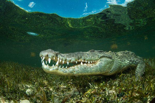 American Crocodile in the shallows thumbnail