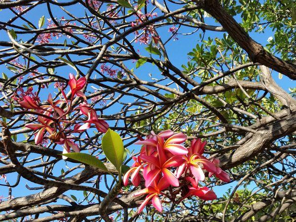 Red Plumeria Tree thumbnail