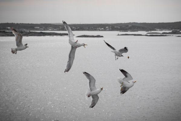 Seagulls hunting cookies thumbnail