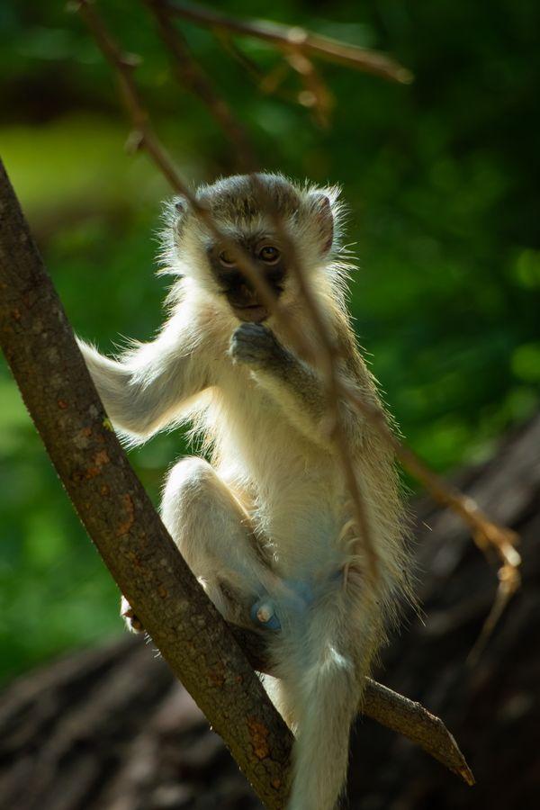 A curious Vervet monkey thumbnail