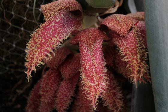Meet Stinky 'Bucky,' the Bulbophyllum Orchid that Shutdown a Smithsonian Greenhouse