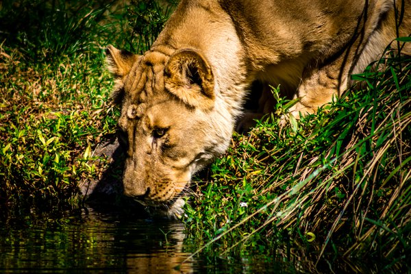 Lioness Drinking thumbnail