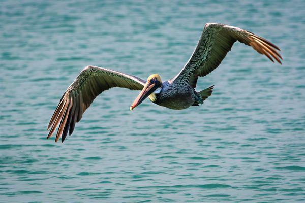 Brown peligan in flight thumbnail