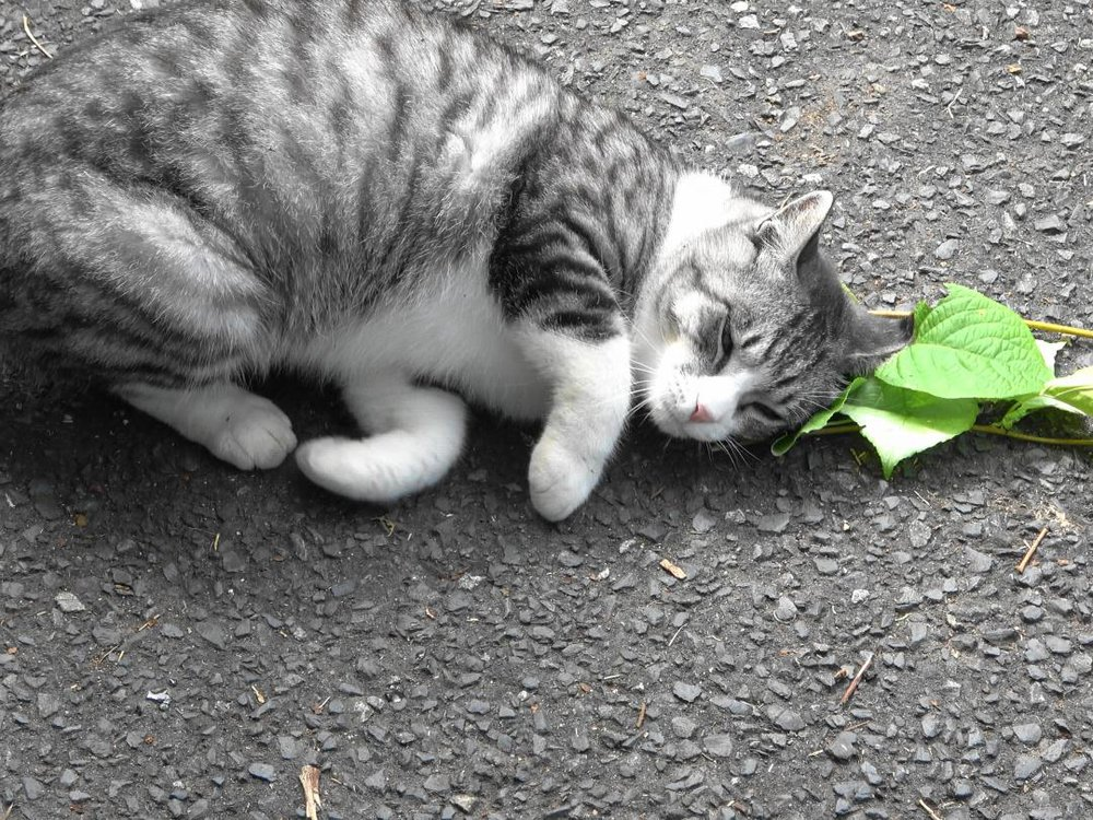 A grey and white cat lays near a stem of silver vine