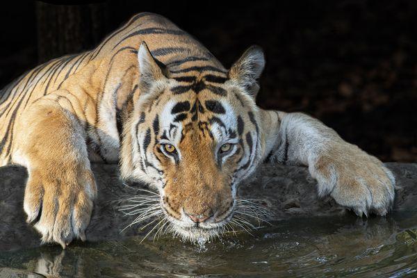 Tiger at Waterhole thumbnail
