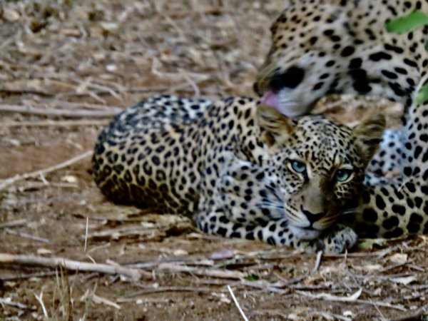 A baby Leopard being groomed by mother thumbnail