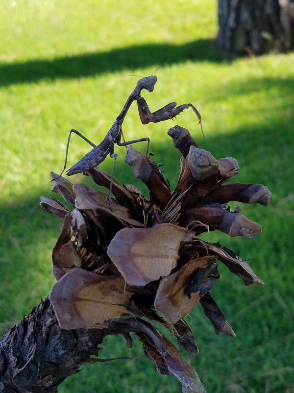 A curious Praying Mantis thumbnail