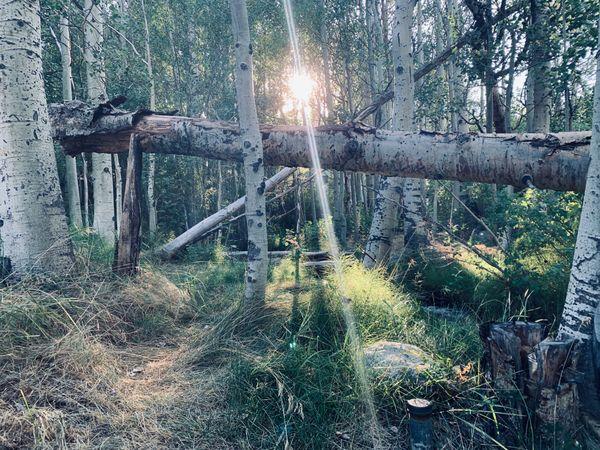 Aspen Trees thumbnail