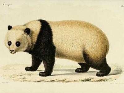 A 19th-century illustration published by Alphonse Milne-Edwards.