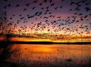 Snow-geese fly-out at Bosque del Apache NWR thumbnail