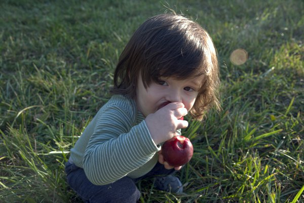 Child eating Apples in an orchard thumbnail