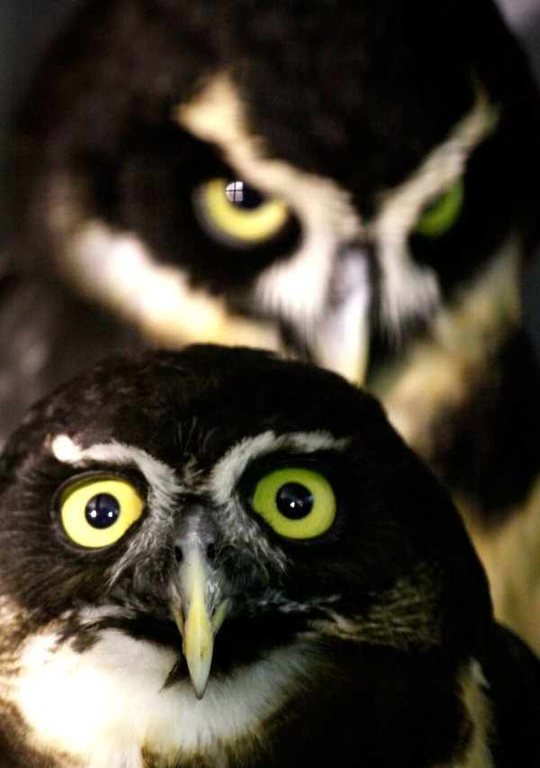 A pair of Spectacled Owls. thumbnail