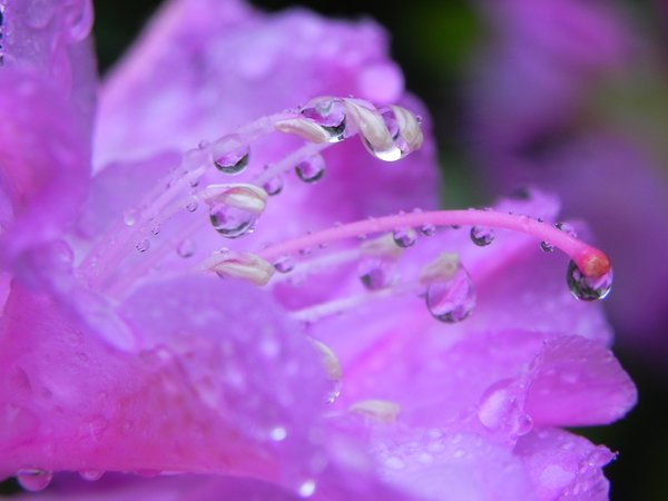 Rhododendron with rain drops thumbnail