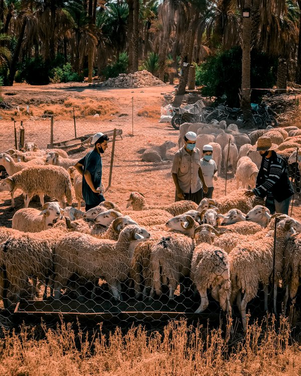 Buy a ram on the occasion of Eid al-Adha thumbnail