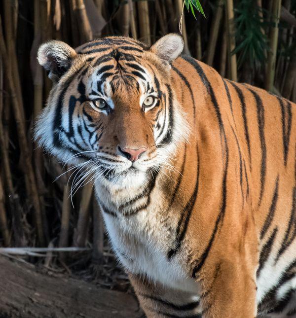 Tiger at Houston Zoo thumbnail