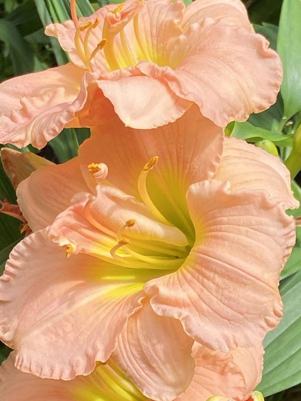 Light pink daylily thumbnail