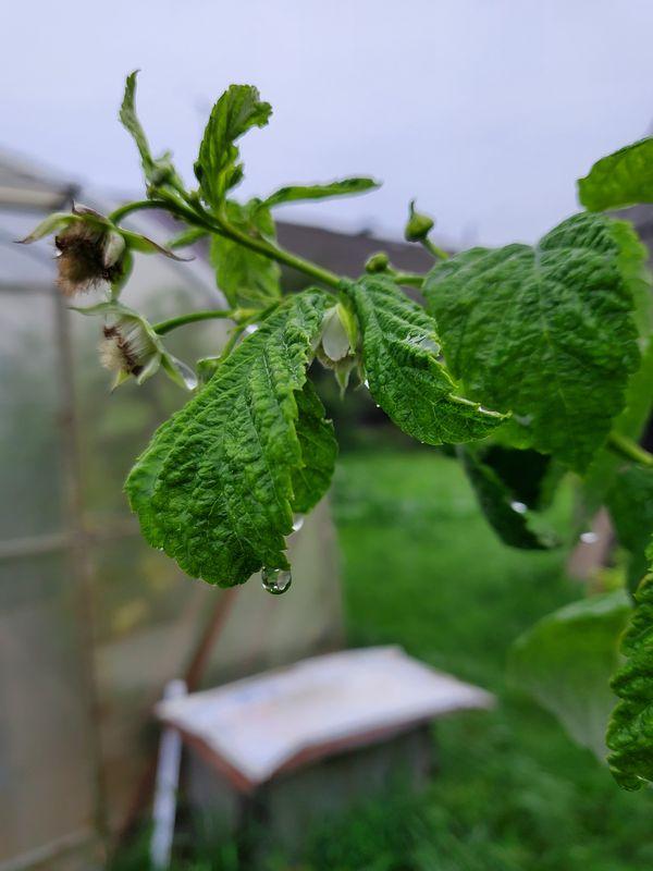 У дождя запах малины thumbnail
