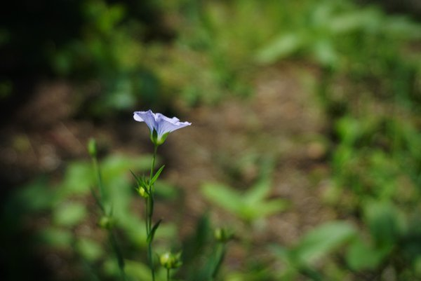 Purple wildflower on a Florida farm thumbnail