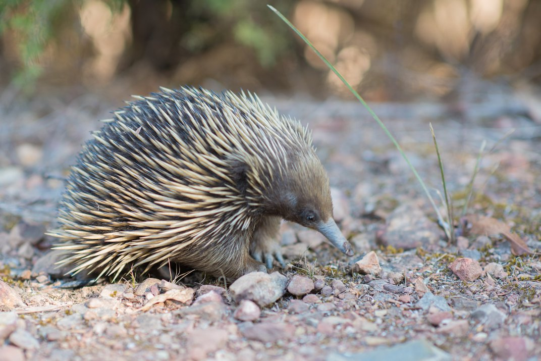 An echidna, a small spiny creature with a long nose, walking on gravel substrate