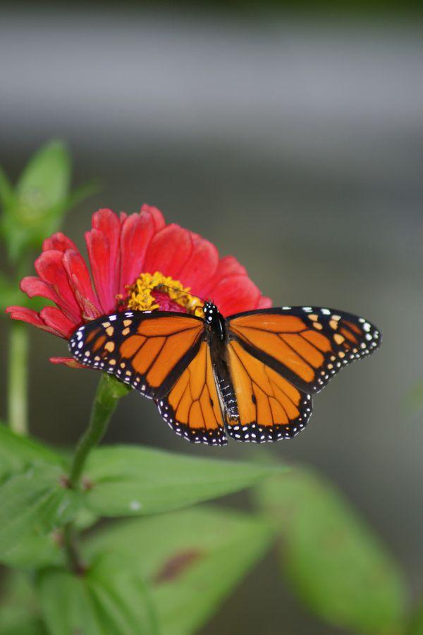 Monarch Butterfly thumbnail