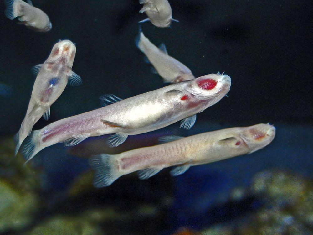Cyprinidae_-_Phreatichthys_andruzzii.JPG