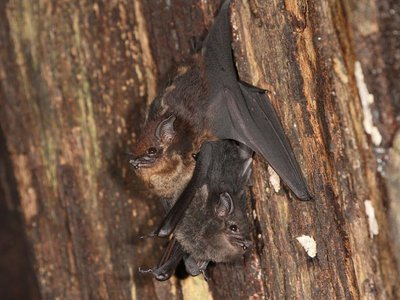 Mother and pup of the bat species Saccopteryx bilineata. Similar to human infants, pups begin babbling at a young age as they develop language skills.