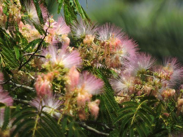 Pink blooming mimosa tree thumbnail