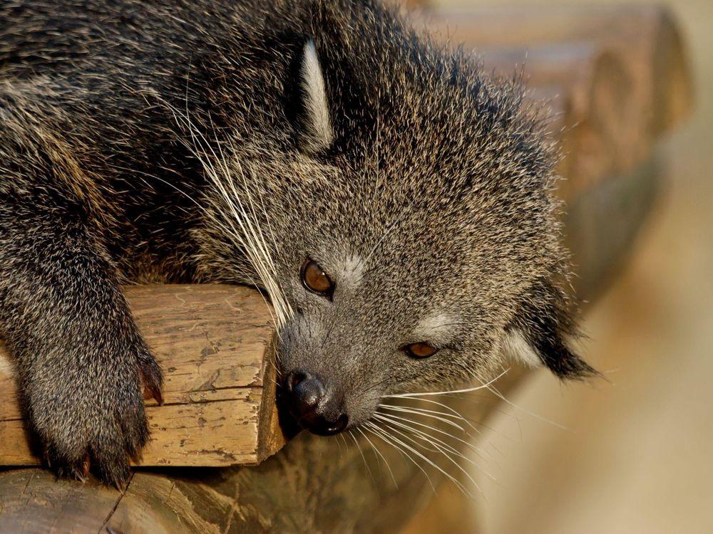 The close up of a binturong or bearcat. The mammal has greyish fur with brown eyes.