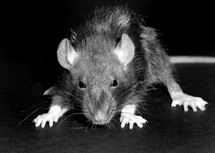 rats with bubonic plague in madagascar