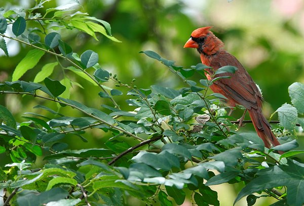 Male cardinal on tree branch thumbnail