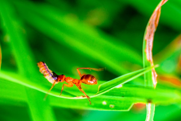 Red ant carrying grub home for the colony. thumbnail
