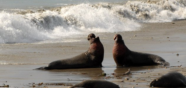 elephant-seals-631.jpg