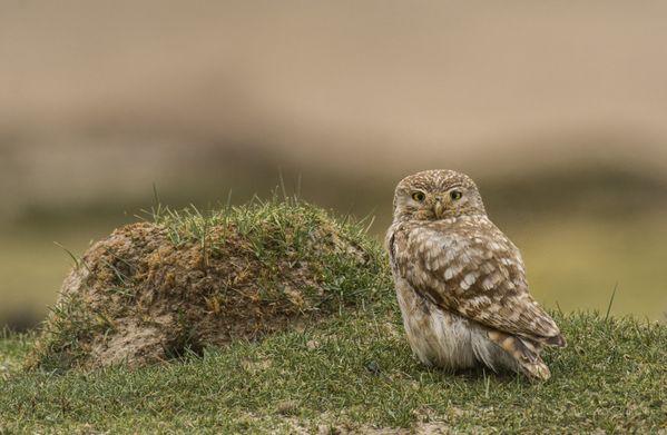 A Little Owl in Ladakh thumbnail