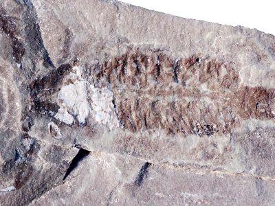 A fossil of Parioscorpio venator, a 437-million-year-old scorpion that resembles modern species.