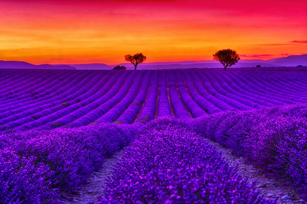 Lavender's Dream thumbnail